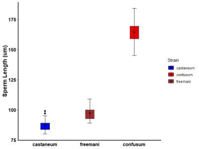 Sperm length comparisons between strains of Tribolium
