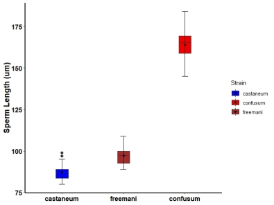 Sperm length comparisons between strains of Tribolium